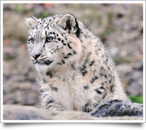 Snow Leopard image by 'Tambako the Jaguar (on the sea)' from Flickr